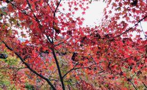 【京都で紅葉ハイキング】「あたごさん」と呼ばれ親しまれる信仰の山・愛宕山へ